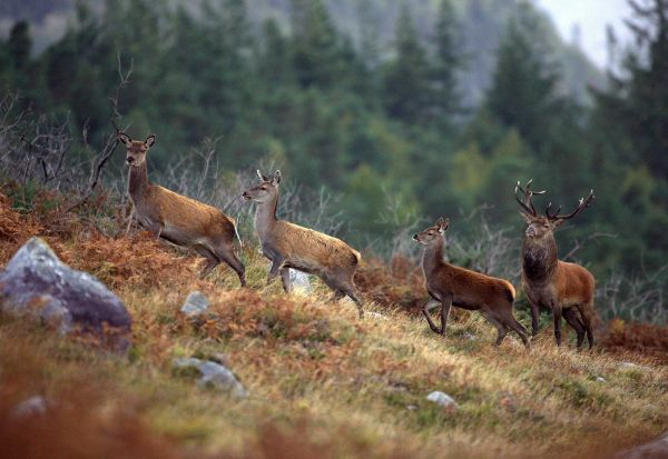 Deers of Kerry
